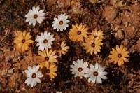asteraceae-osteospermum_pinnatum_1.jpg