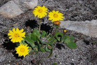 asteraceae-othona_sp.jpg