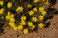 asteraceae-rhynchopsidium_pumilum.jpg