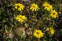 asteraceae-tripteris_sinuata.jpg