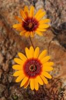 asteraceae-ursinia_calenduliflora_1.jpg
