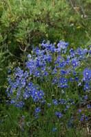 brassicaceae-heliophila_sp_1.jpg