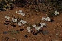 brassicaceae-helophila_variabilis.jpg