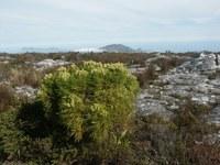 bruniaceae-berzelia_lanuginosa_1.jpg