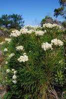 bruniaceae-berzelia_lanuginosa.jpg
