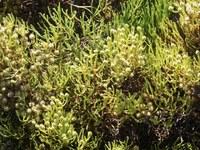 bruniaceae-nebelia_paleacea.jpg