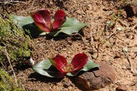 colchicaceae-androcymbium_latifolium.jpg
