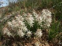 colchicaceae-wurmbea_spicata.jpg