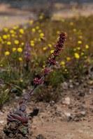 crassulaceae-crassula_atropurpurea.jpg