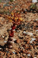 crassulaceae-crassula_columnaris.jpg