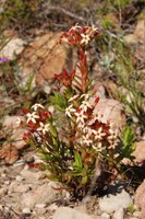crassulaceae-crassula_fascicularis.jpg