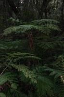cyatheaceae-cyathea_capensis.jpg