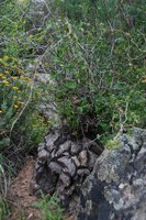 dioscoreaceae-dioscorea_elephantipes.jpg
