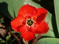 droseraceae-drosera_cistiflora_1.jpg