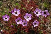droseraceae-drosera_cistiflora_2.jpg