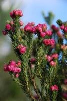ericaceae-erica_baccans.jpg