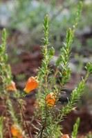 ericaceae-erica_blenna.jpg