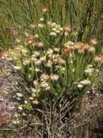 ericaceae-erica_bruniifolia_1.jpg