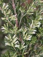 ericaceae-erica_cafra.jpg