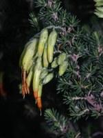ericaceae-erica_coccinea.jpg
