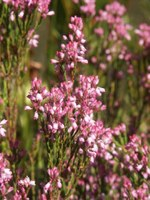ericaceae-erica_corifolia.jpg