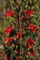 ericaceae-erica_discolor.jpg