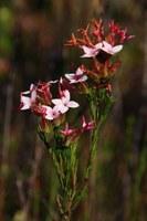 ericaceae-erica_fastigiata.jpg