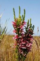 ericaceae-erica_perspicua.jpg
