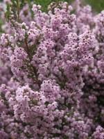 ericaceae-erica_quadrangularis.jpg