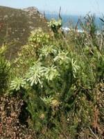 ericaceae-erica_sessiliflora.jpg