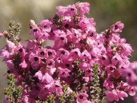 ericaceae-erica_sp_3.jpg