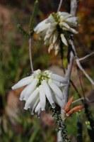 ericaceae-erica_sp.jpg