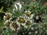 euphorbiaceae-euphorbia_caput-medusae_1.jpg
