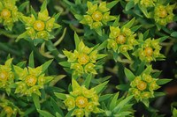 euphorbiaceae-euphorbia_mauritanica_1.jpg