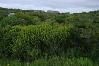 euphorbiaceae-euphorbia_mauritanica.jpg