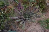 euphorbiaceae-euphorbia_tuberculata_1.jpg