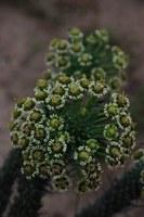 euphorbiaceae-euphorbia_tuberculata.jpg