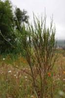 fabaceae-aspalathus_linearis.jpg