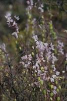 fumariaceae-cysticapnos_vesicaria.jpg