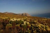 fynbos-berzelia_lanuginosa_leucadendron_gandogeri.jpg