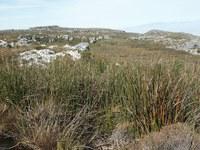 fynbos-restionaceae.jpg