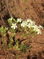 gentianaceae-sebaea_exacoides.jpg