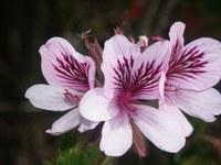 geraniaceae-pelargonium_betulinum.jpg