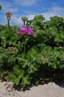 geraniaceae-pelargonium_capitatum.jpg