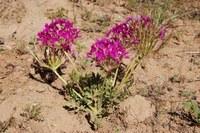 geraniaceae-pelargonium_incrassatum.jpg