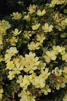 geraniaceae-sarcocaulon_crassicaule.jpg