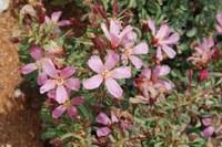 geraniaceae-sarcocaulon_patersonii.jpg