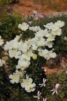 geraniaceae-sarcocaulon_sp_1.jpg