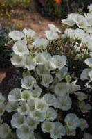 geraniaceae-sarcocaulon_sp_2.jpg