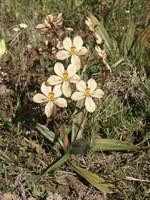 haemodoraceae-wachendorfia_brachyandra.jpg